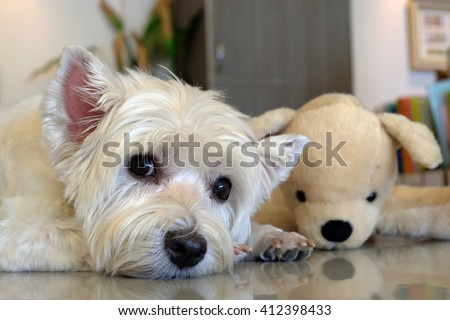A cute west highland white terrier dog and her doll.