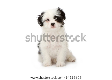 A cute white and black puppy against a white backdrop.