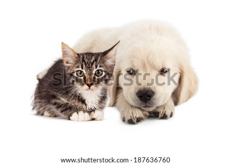 A cute white golden retriever puppy laying down and rolling his eyes to the side with an irritated expression at a small tabby kitten - stock photo