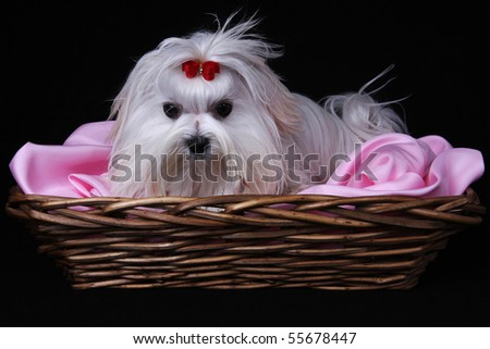 A cute white Maltese dog with red ribbon in a basket on pink material against a black background. - stock photo