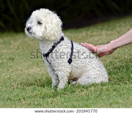 A cute white poodle sitting outdoors on grass being petted. - stock photo