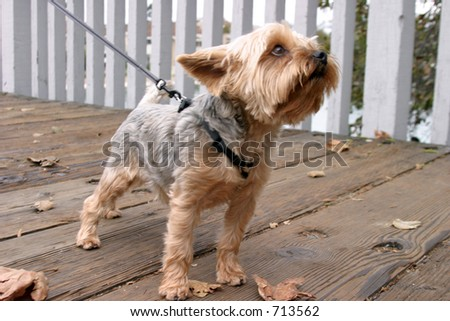 a cute yorkie stands and sniffs the air