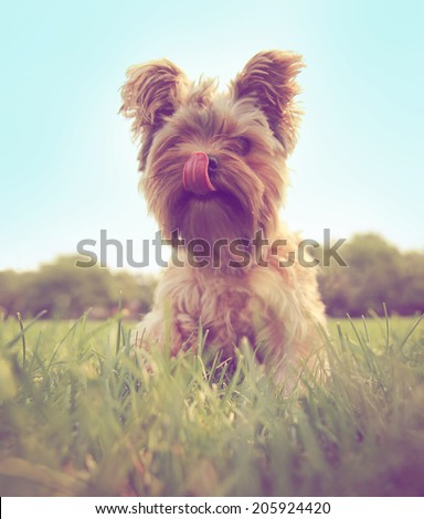 a cute yorkshire terrier toned with a retro vintage instagram filter  - stock photo