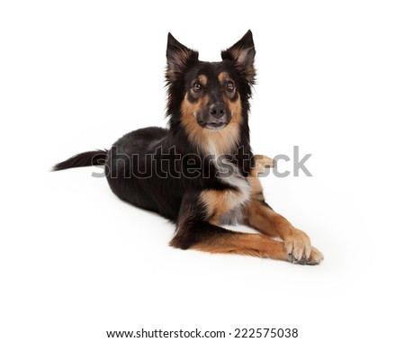 A cute young black and tan color Border Collie and Shepherd mixed breed dog laying down with an attentive expression and paws crossed - stock photo