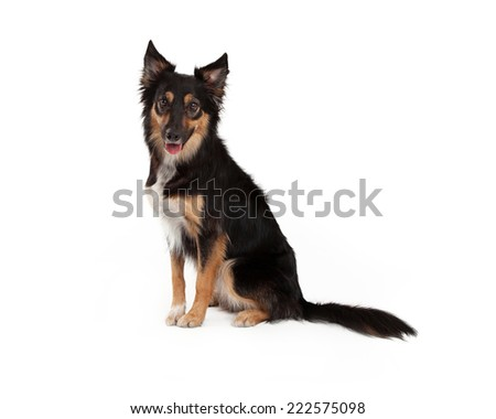 A cute young black and tan color Border Collie and Shepherd mixed breed dog sitting to the side and looking forward with a happy expression - stock photo