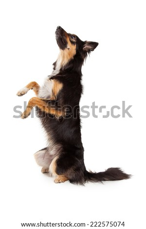 A cute young black and tan color Border Collie and Shepherd mixed breed dog sitting up on her hind legs and begging while looking up and off to the side - stock photo