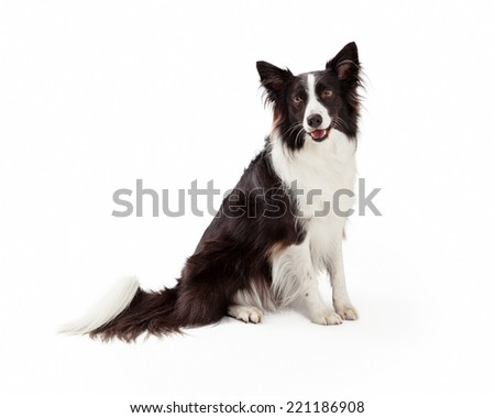 A cute young black and white Border Collie dog sitting to the side and looking forward with happy expression and open mouth - stock photo