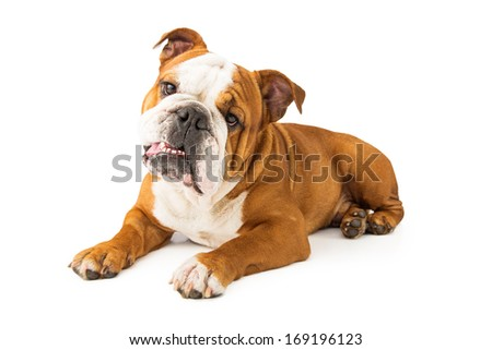 A cute young Bulldog pup laying against a white backdrop and tilting his head to the side