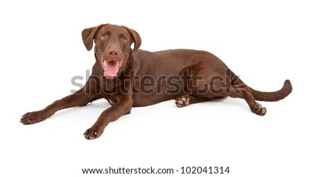 A cute young chocolate Labrador Retriever puppy with a happy expression laying against a white backdrop