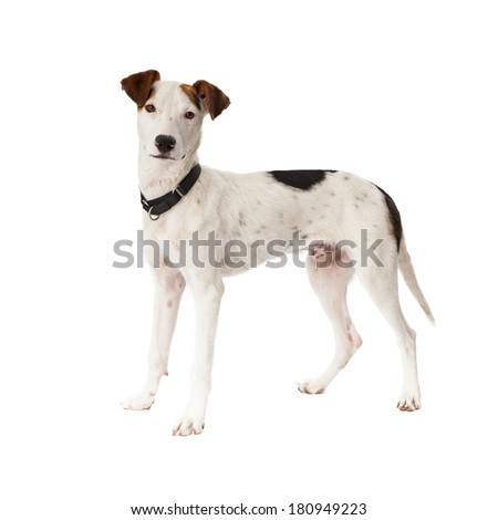 A cute young Pointer mixed breed dog standing and looking at the camera