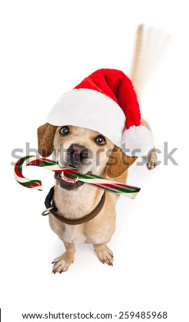 A cute young puppy dog wearing Christmas Santa Claus hat and holding a candy cane with motion blur from a wagging tail. Isolated on white.