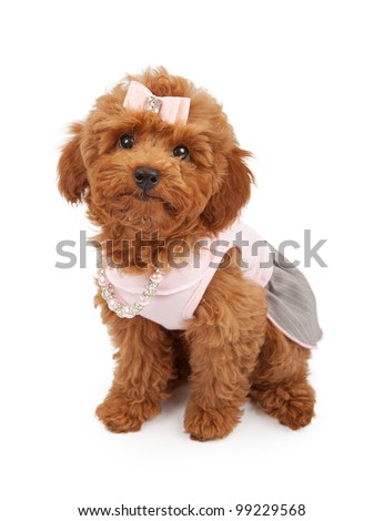 A cute young red Poodle puppy wearing a pink dress, hair bow and pearl and rhinestone necklace. - stock photo