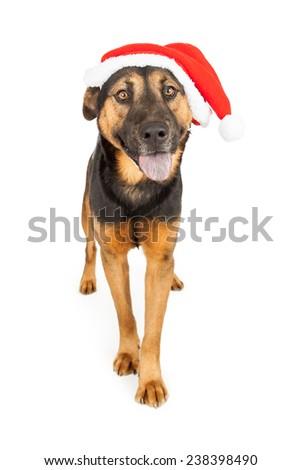 A cute young Shepherd cross dog wearing a Santa Claus hat - stock photo