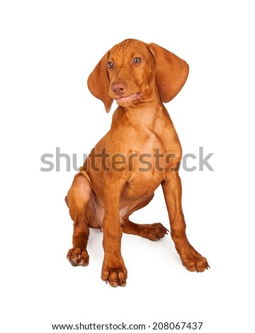 A cute young Vizsla breed puppy dog sitting against a white background with a funny smirk on his face.