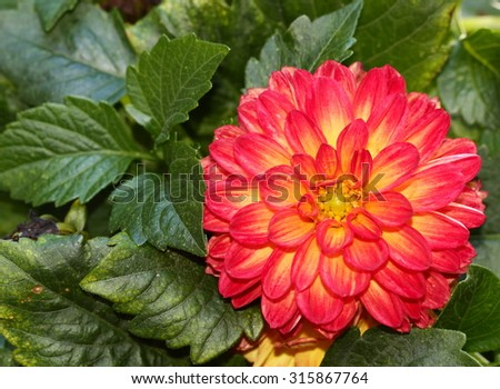 A Dahlia with leaves. - stock photo