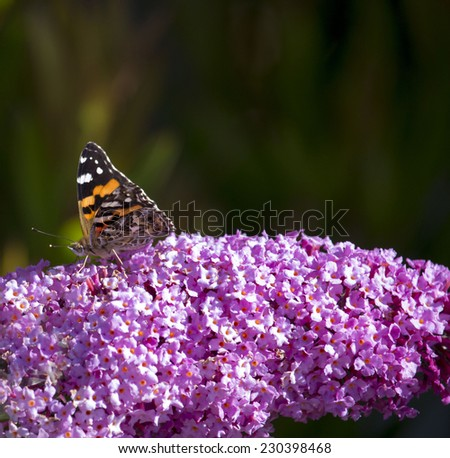 A dainty monarch butterfly, Danaus plexippus,  one of Australia's best-known exotic butterflies  sitting on  a  Butterfly Bush Buddleja davidii ,  or  summer lilac,  on a sunny spring afternoon. - stock photo