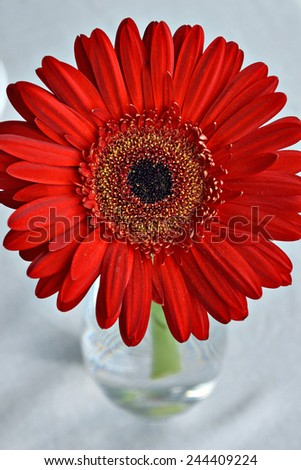 A daisy in a glass vase. - stock photo