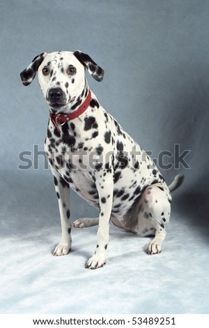 A Dalmation wearing a red collar poses on a plush blue backdrop.