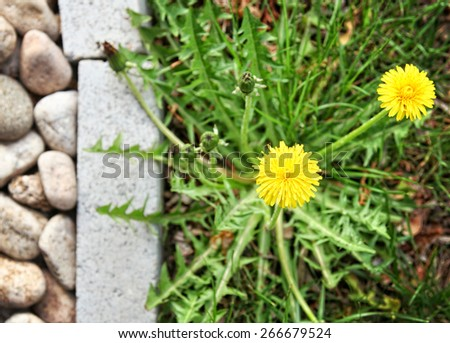 a dandelion along a landscaped walkway of stone pavers and grave - stock photo
