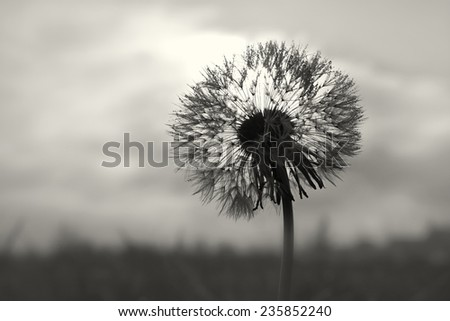 A dandelion clock with small drops on it in backlight - stock photo