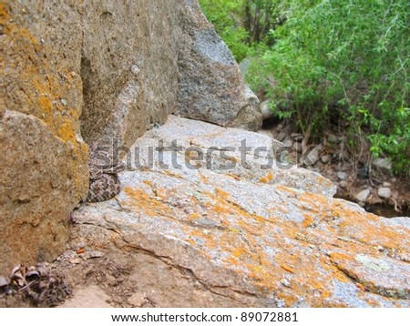 A danger to hikers and campers - a venomous snake, the Great Basin Rattlesnake, Crotalus oreganus lutosus, blending into its environment - stock photo