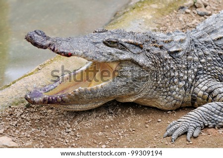 A dangerous crocodile with mouth opened