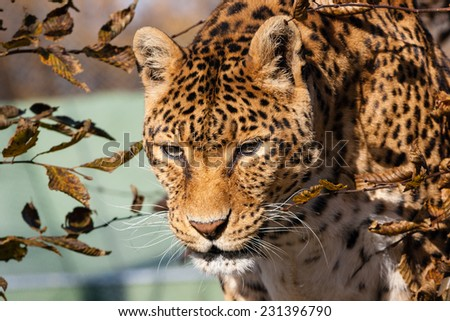 a dangerous predator panther staring portrait in autumn - stock photo