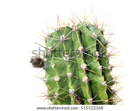 a dangerous spiky prickly cactus isolated on white