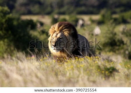 A dark maned sub adult male lions approaches,walking straight towards the camera,in this beautiful low angle profile portrait taken in eastern cape,south africa - stock photo
