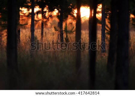 A dark pine forest lit by the orange light of the first sunbeams at a foggy dawn - stock photo