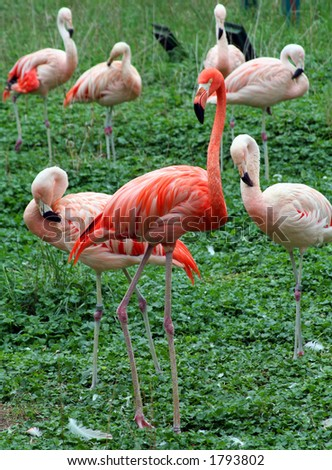 A dark pink flamingo surrounded by light pink flamingos - stock photo