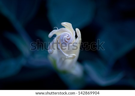 A Datura moon flower just before it blooms, with the background barely showing in the moon light. - stock photo