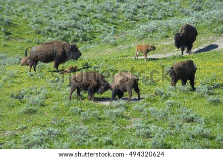 A day in the life of a Bison herd in the wild.