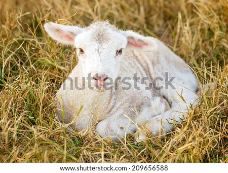 a day old white suffolk sheep lamb - stock photo
