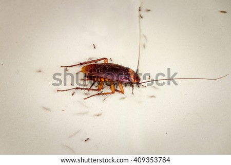 A dead cockroach is being consumed by ants on dirty a kitchen tile floor - stock photo