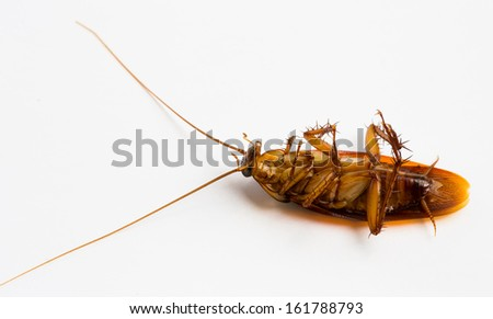 A dead cockroach isolated on white background