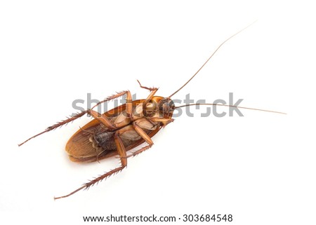 A dead cockroach on white background