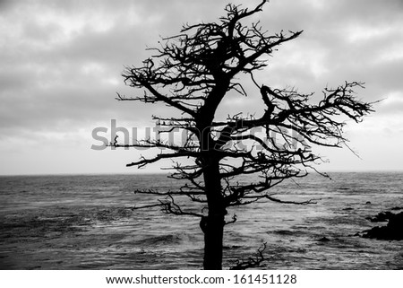 A dead Cypress Tree along the coast of California on the 17 Mile Drive. - stock photo