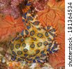 A deadly blue-ringed Octopus displays its warning colours at night on a tropical coral reef - stock photo