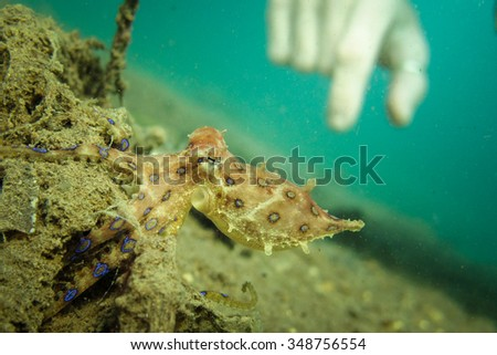 A deadly but beautifuly striking Blue Ringed Octopus - Hapalochlaena lunulata - shows its true colours.... Taken in Lombok, Indonesia. - stock photo