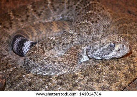 A deadly Western Diamondback Rattlesnake (Crotalus atrox) in Arizona, USA. Close-up macro of snake in a coiled position low on the ground in the desert. - stock photo