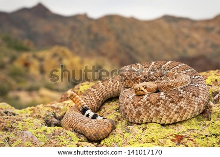 A deadly Western Diamondback Rattlesnake (Crotalus atrox) in Arizona, USA. Snake is coiled on a rock with rattle visible in the Superstition Mountains.