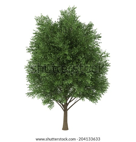 a deciduous tree isolated on white background