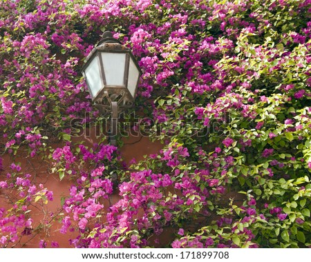 A decorative lamp post amongst a bougainvillea vine. - stock photo