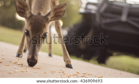 A deer eating corn in front of a golf cart in the suburbs