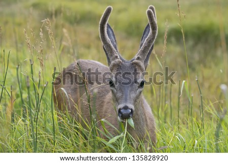 A deer eating green grass in yosemite national park - stock photo