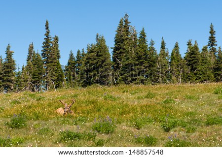 A deer laying in the grass in Olympic National Park - stock photo