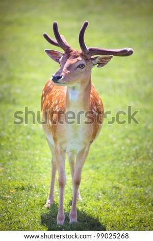 A deer on meadow - stock photo