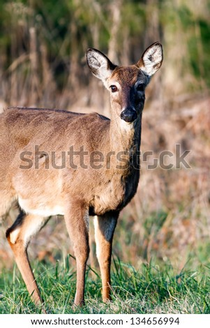 A deer photographed in the early morning in Cades Cove, Great Smoky Mountains National Park, Tennessee - stock photo