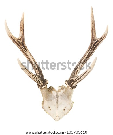 A deer trophy with antlers over a white background - stock photo
